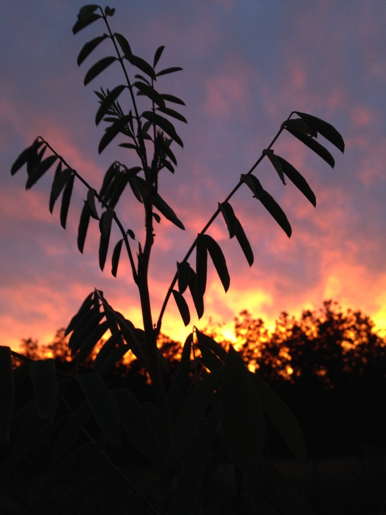 The incomparable Indigo plant at sunset